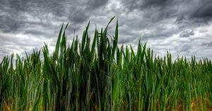 Storm clouds over a wheat field